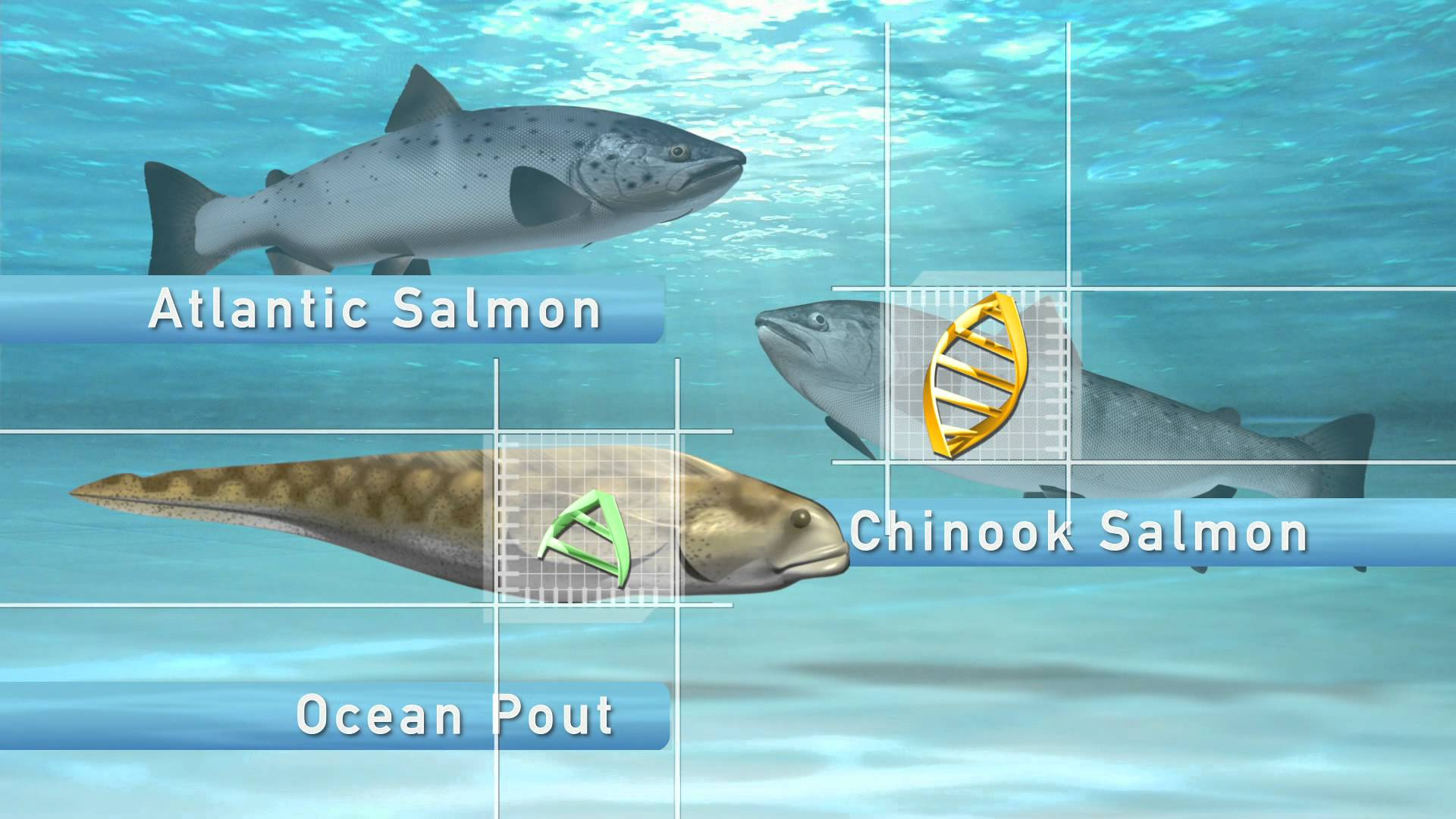 Genetically Modified Salmon - Combining the DNA of Chinook Salmon and Ocean Pout