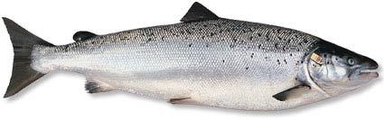 Palom Aquaculture - North Atlantic Salmon, grown using a Recirculating Aquaculture System (RAS)
