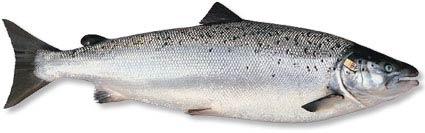 Palom Aquaculture - North Atlantic Salmon, grown using a Recirculating Aquaculture System (RAS)